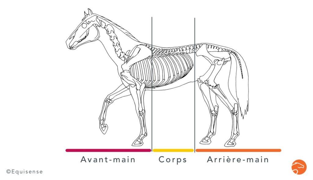 musculation épaules cheval membre antérieur avant-main