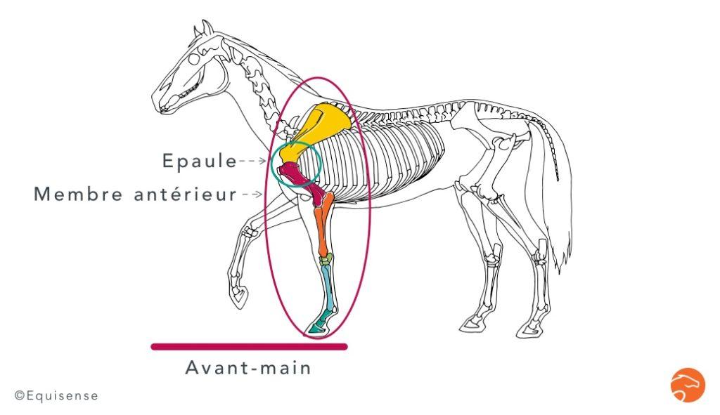 l'épaule, l'avant-main ou le membre antérieur du cheval