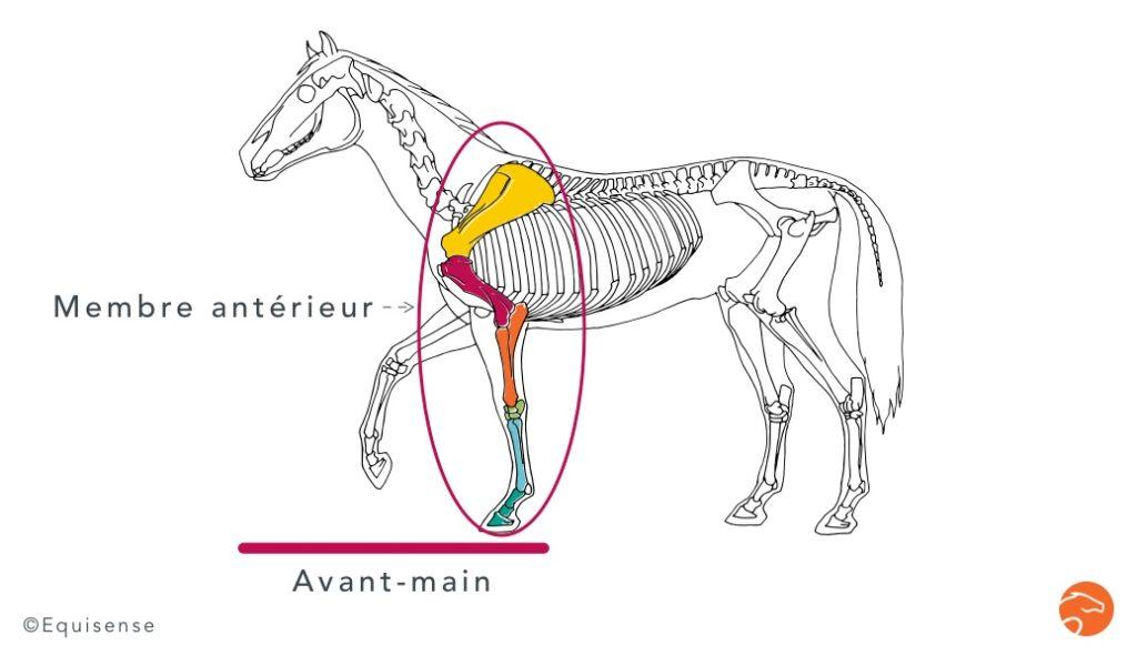 le membre antérieur par rapport à l'avant-main chez le cheval