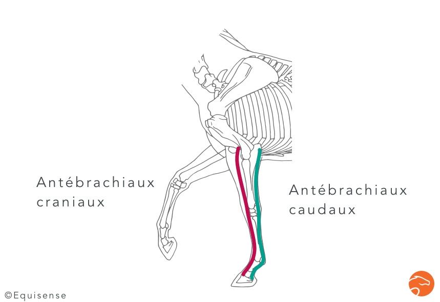 Les muscles de l'avant-bras, sur l'avant-main du cheval