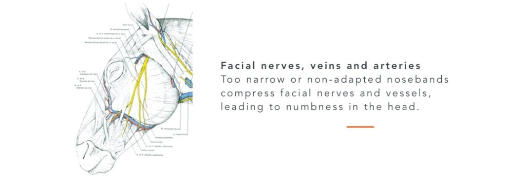 nerves vessels face