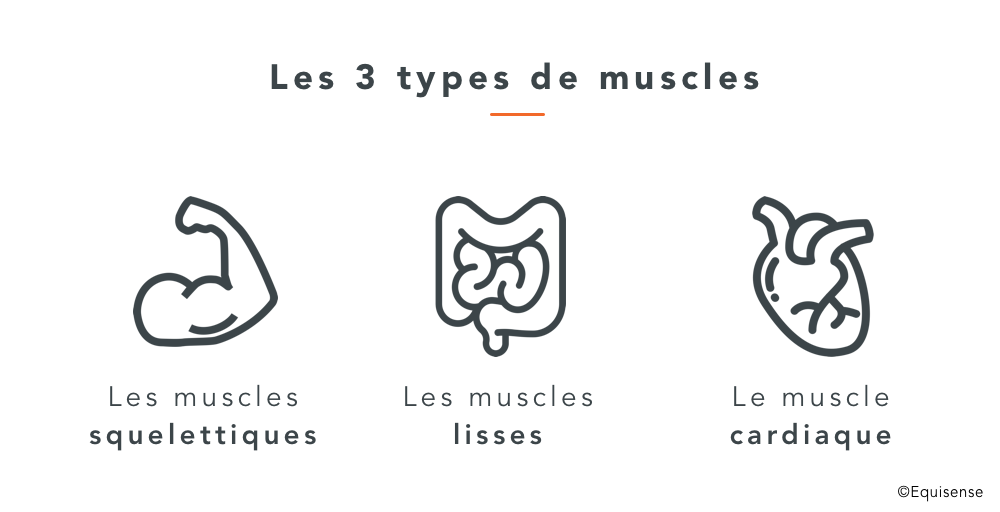 muscles du cheval musculation