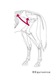 action du muscle ilio psoas chez le cheval