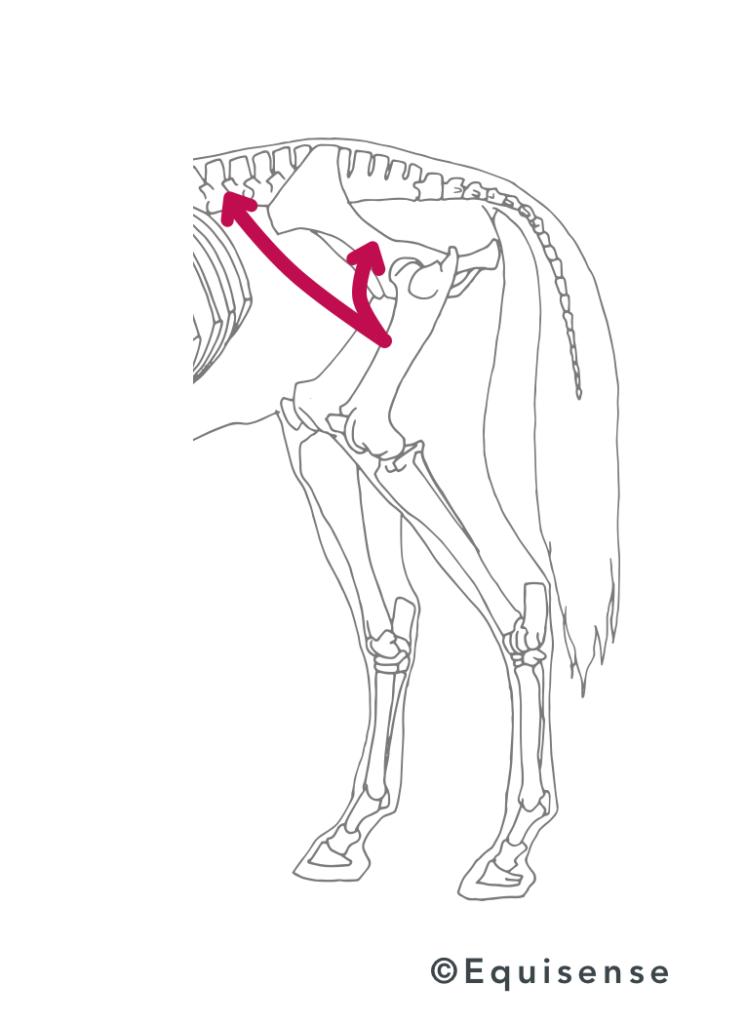 exercices muscler le dos de son cheval abdominaux dos how to streghten back muscles
