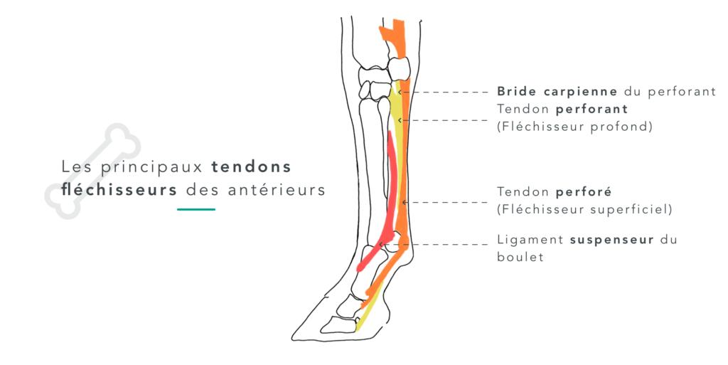 schéma des tendons du membre antérieur du cheval  tendinite Equisense