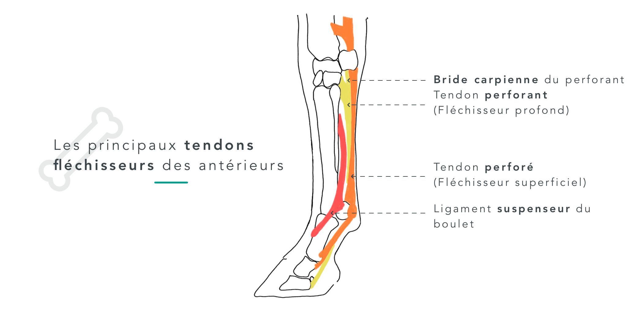 fer ferrure cheval tendons