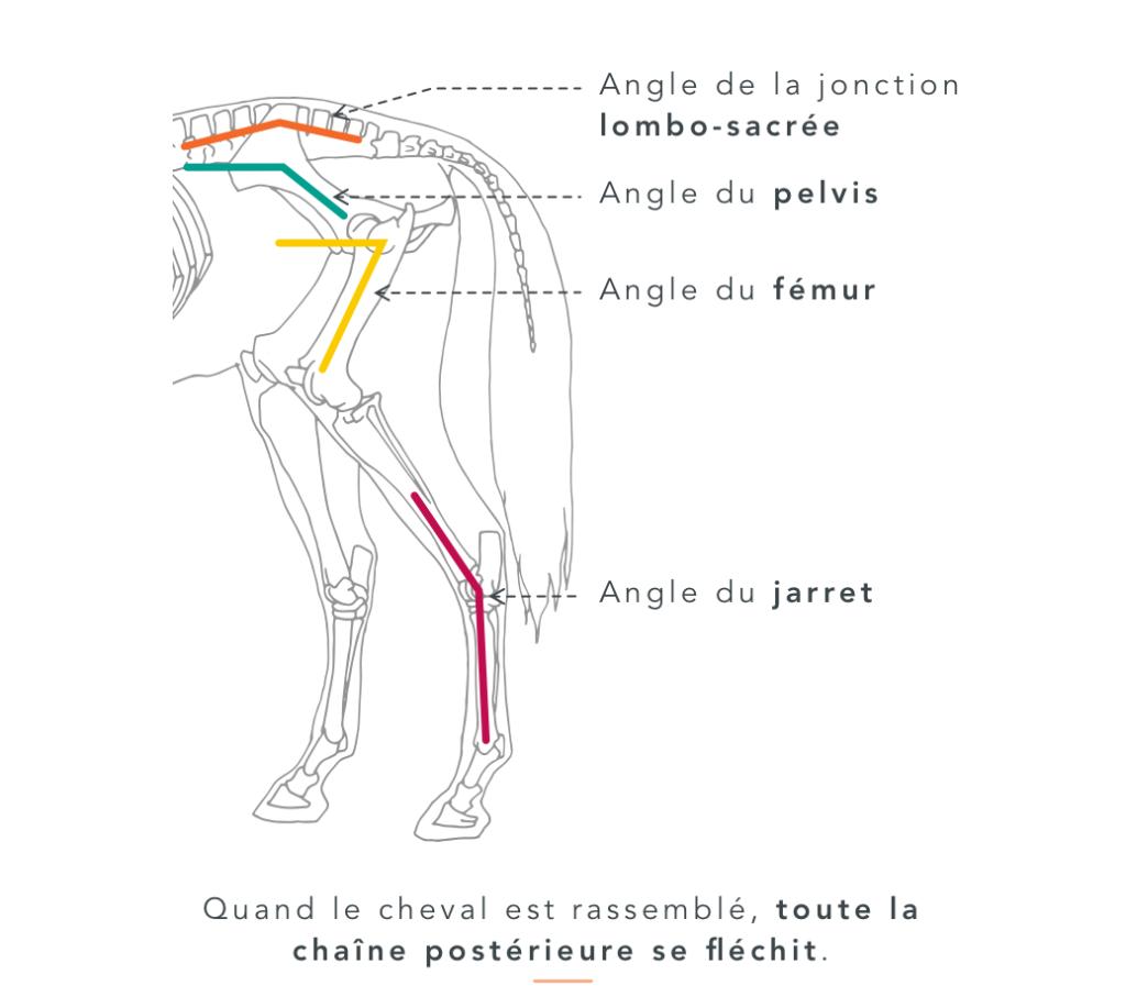 les effets du rassembler chez le cheval  Quand le cheval est rassemblé, toute la chaine postérieure se fléchit.