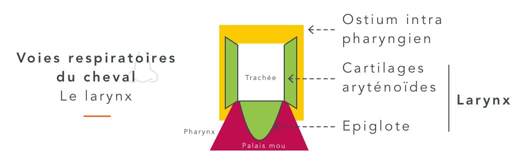 larynx cheval cornage chez le cheval
