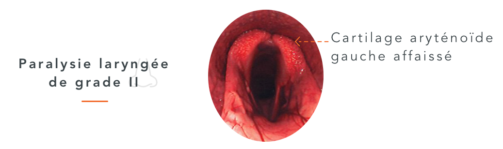 paralysie laryngée cheval larynx le cornage chez le cheval