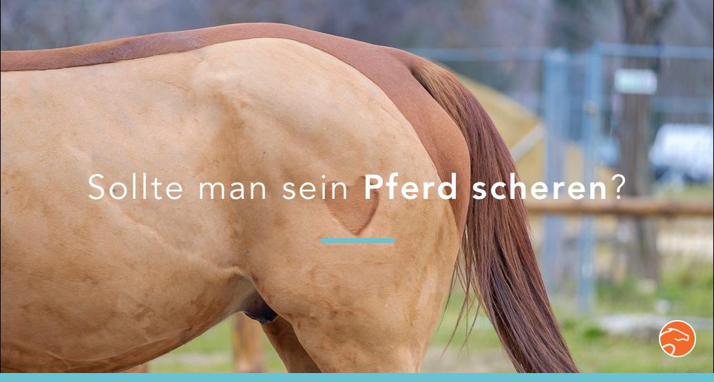 Sollte man sein Pferd scheren?
