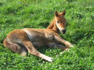 croissance travail des jeune chevaux