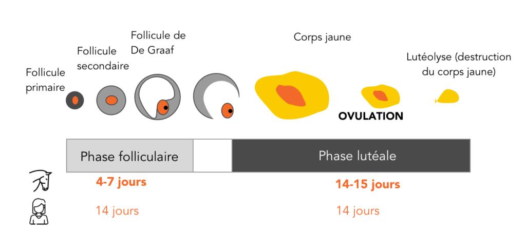 le cycle ovarien des juments