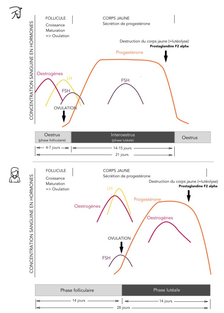 Comparaison des concentrations sanguines des hormones sexuelles lors du cycle de la jument et celui de la femme