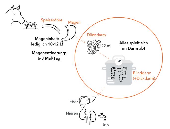 Schematische Darstellung des Verdauungssystems des Pferdes - Hafer Artikel