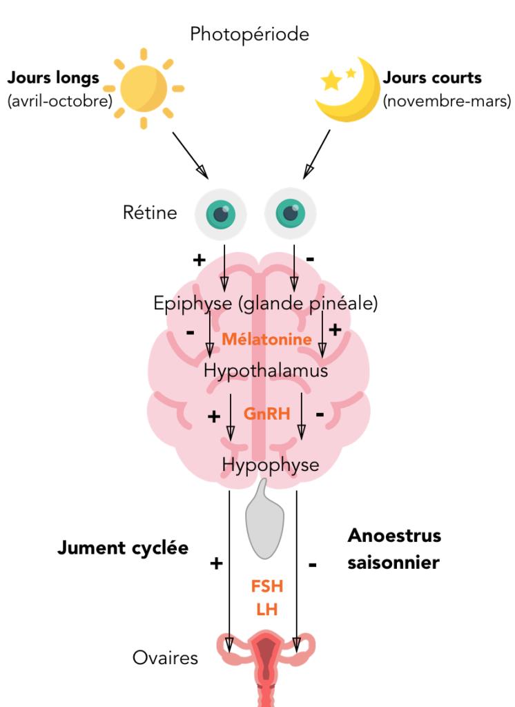 Schéma simplifié de la régulation hormonale saisonnière des chaleurs des juments