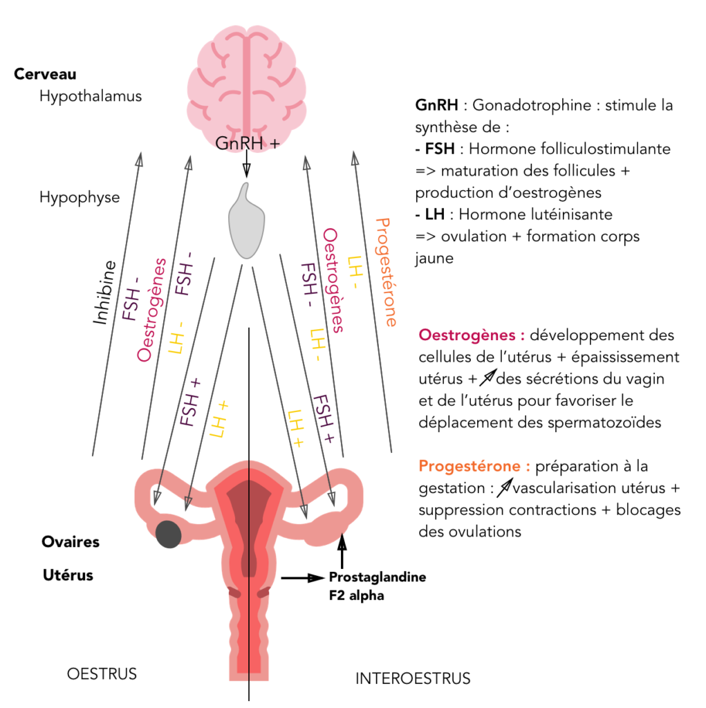 régulation hormonales du cycle ovarien des juments et lien avec les chaleurs des juments