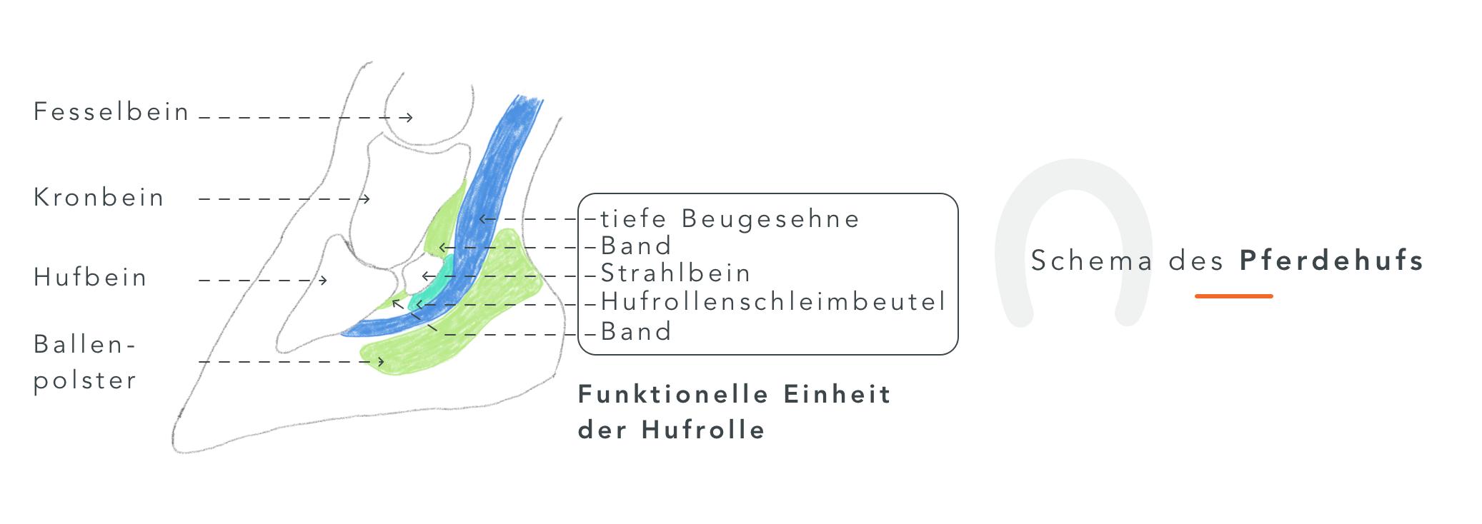 1_Schema_Pferdehuf_Abbildung