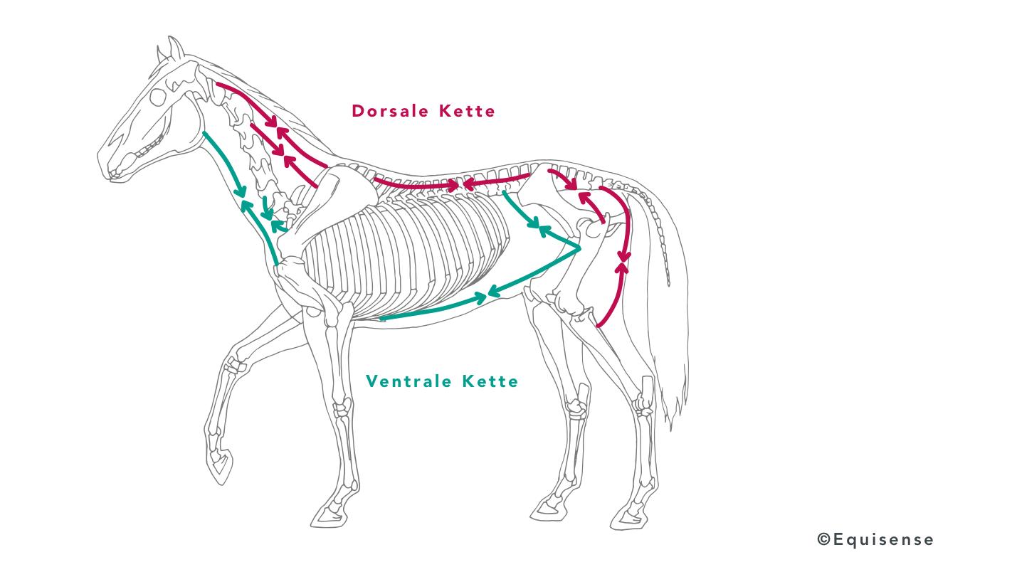 Dorsale und ventrale Kette beim Pferd