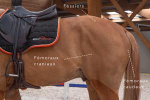 muscler l'arrière main de son cheval