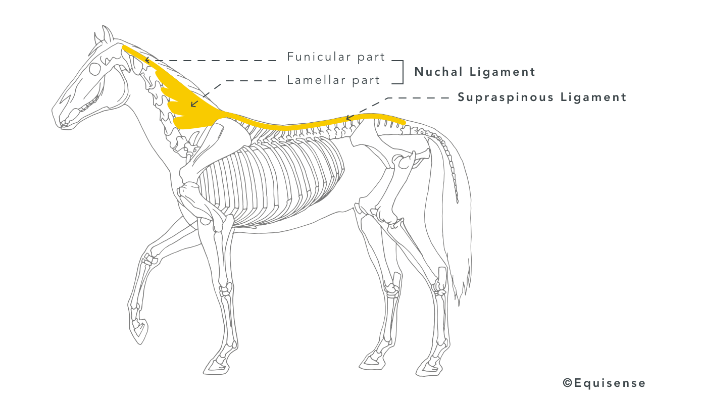Horse's back ligament system
