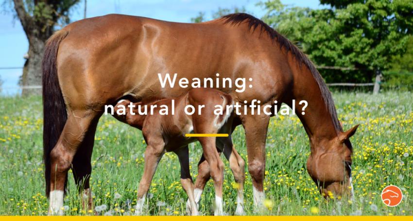foal weaning