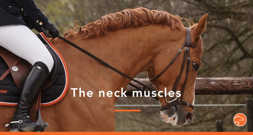 horse neck muscles