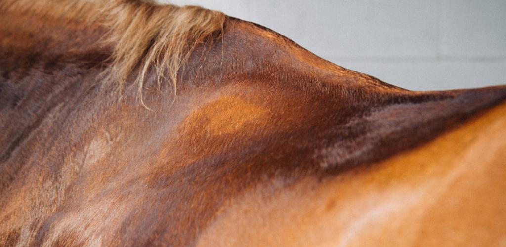 Transpiration et déshydratation chez le cheval
