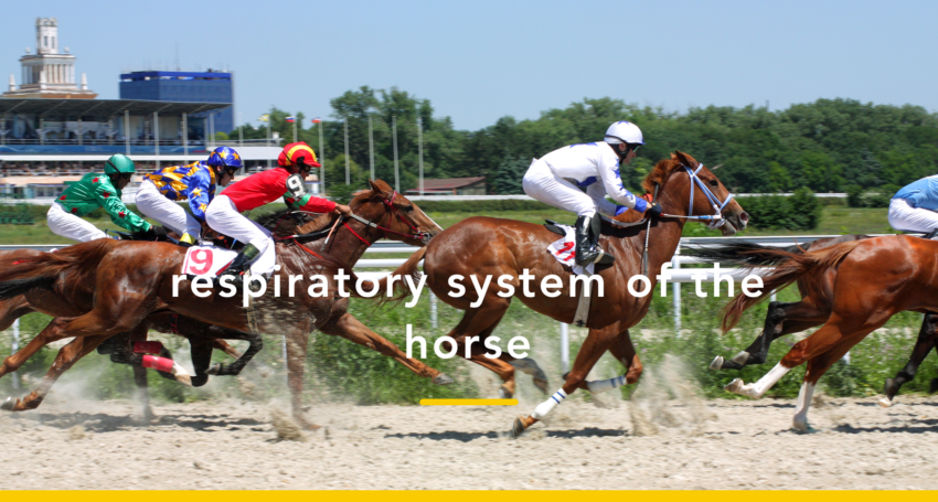 Respiratory system of the horse