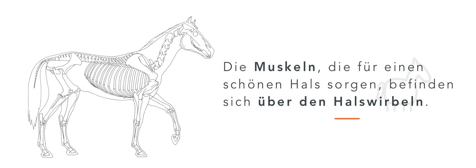Halsmuskulatur_1_DE