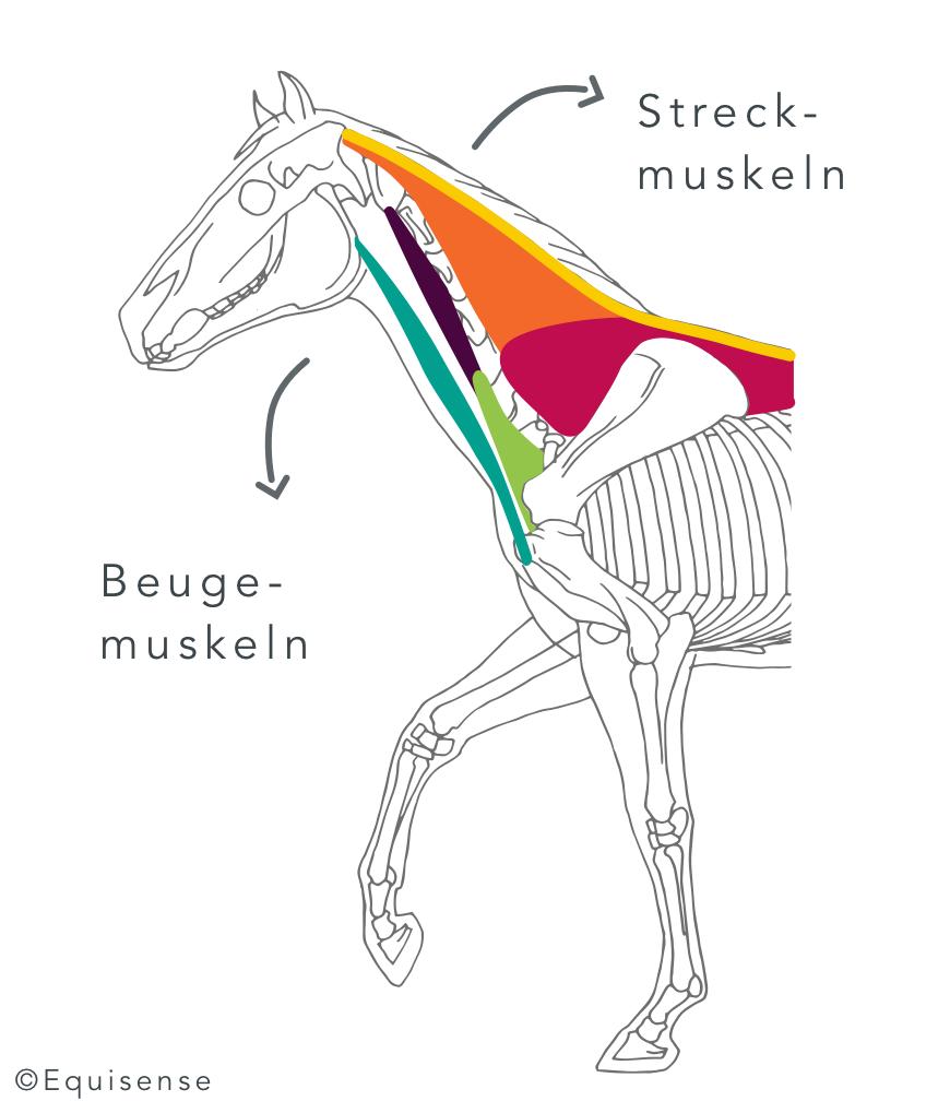 Halsmuskulatur_Strecker_Beuger_DE