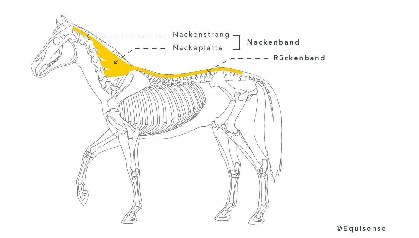 Veranschaulichung der Bänder des Pferderückens