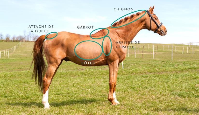 zones à palper pour noter le score corporel et le surpoids du cheval