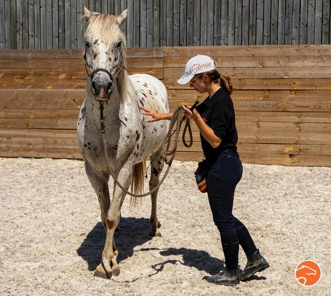 Déplacement des épaules par le travail à pied pour débuter le travail latéral chez le jeune cheval