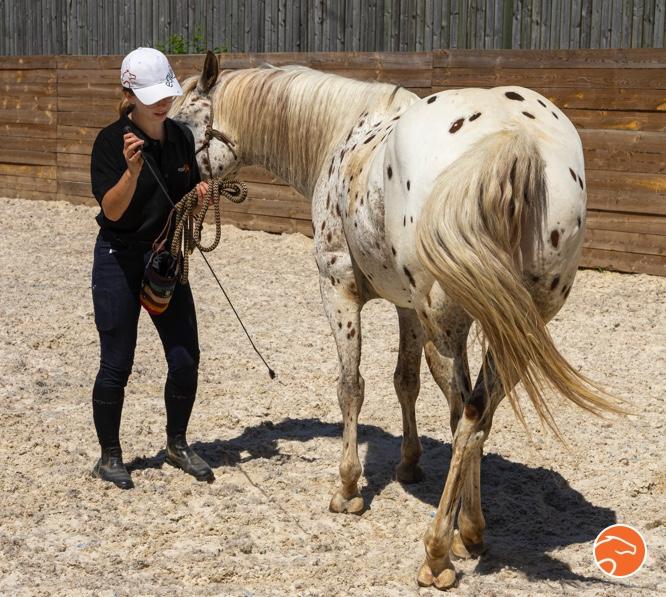 L'apprentissage des déplacements latéraux chez le jeune cheval par le travail à pied