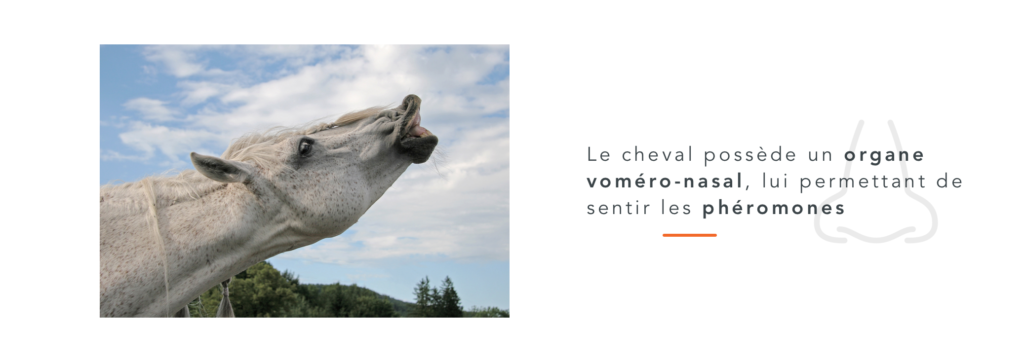 organe voméro-nasal cheval olfaction odorat 5 sens