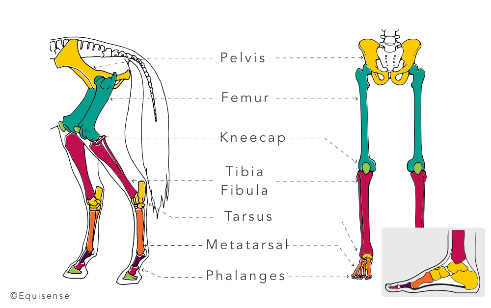 Comparison between the bones of the horse's hindquarters and the human legs