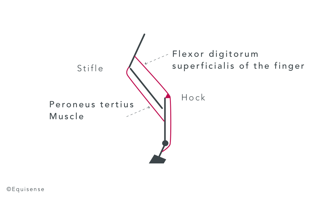 reciproqual apparatus on horses