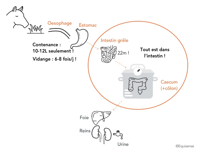 schéma du système digestif du cheval pour comprendre comment nourrir son cheval