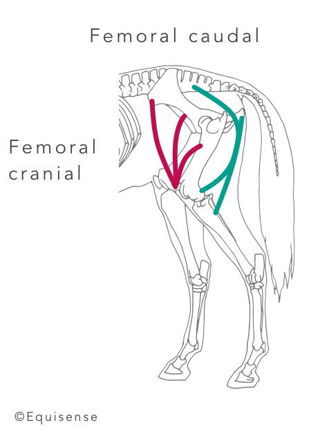 horse's hindquarter muscles and how to strengthen them