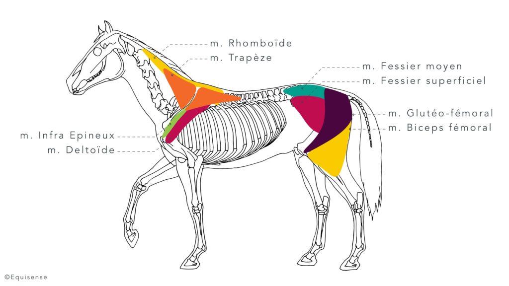 Les muscles abducteurs sollicités lors des déplacements latéraux chez le cheval