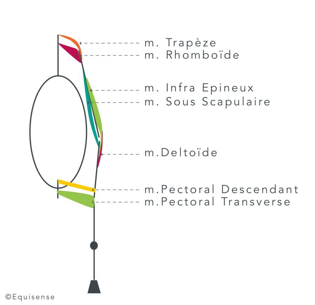 Muscles de l'avant main impliqués dans les déplacements latéraux chez le cheval