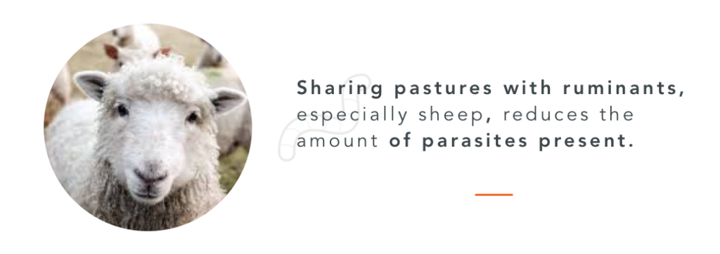 Sheep can help reduce the amount of parasites in a pasture. This a natural way for horses deworming